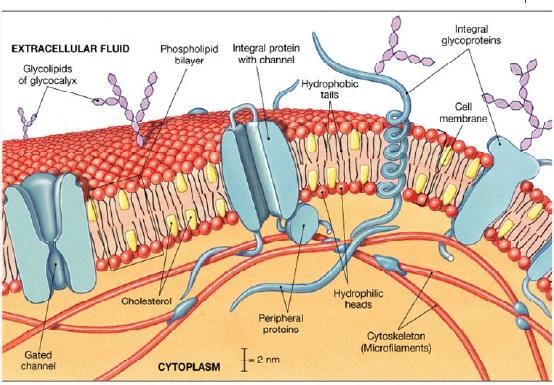 Membran sel boyclass2 membran sel ccuart Choice Image